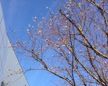 izumoden岡崎のブログ-立春桜